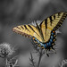 Eastern Tiger Swallowtail by Larry E. Anderson