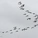 Brent geese (Branta bernicla)