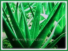 Lovely green to grey-green folliage of Aloe vera (Chinese/Indian Aloe, True Aloe, Barbados Aloe, Burn/Medicinal Aloe, First Aid Plant), 2 Nov 2017