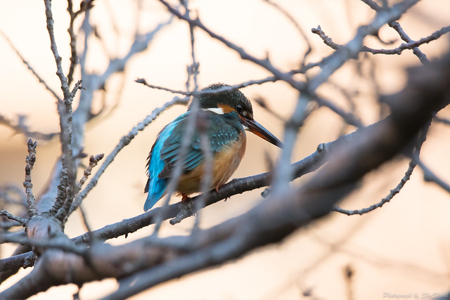 20171210-kingfisher-DSC_0565