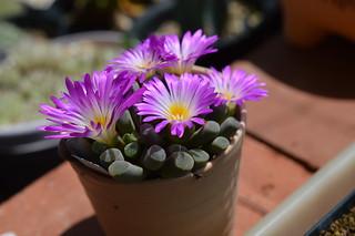 DSC_6237 Frithia pulchra フリチア 光玉