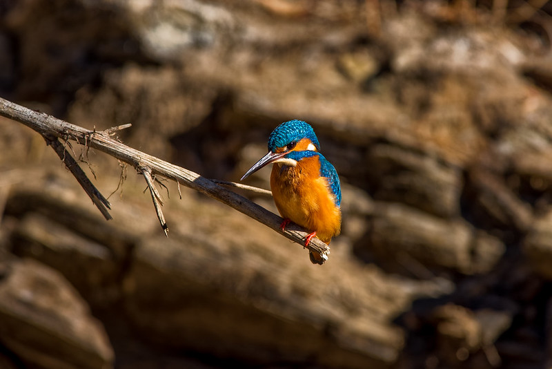Kingfisher - Guarda-rios