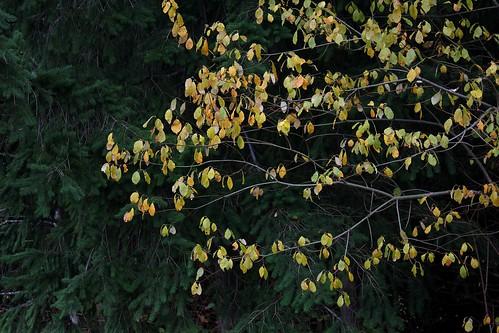 Salix caprea - saule marsault, saule des chèvres 38326660221_7091c0a1a1