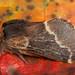 December Moth (Poeciocampa populi).