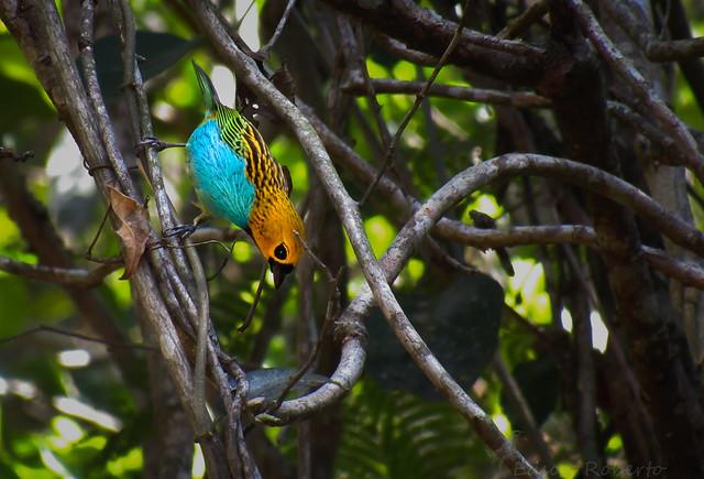 saíra-douradinha (Tangara cyanoventris)