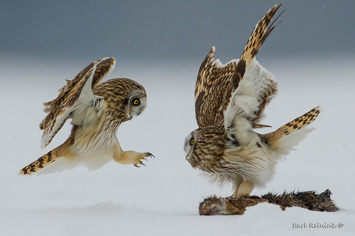Short-eared Owl protects its meal