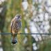 Bird on a Wire........