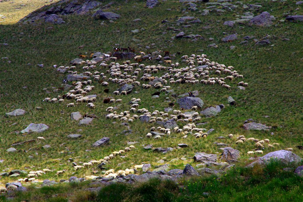 Piemonte - Biellese:Valle Elvo: oltre il Roch delle Fate, pecore