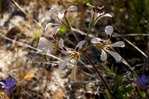 Pelargonium trifoliolatum with creamy flowers in habitat