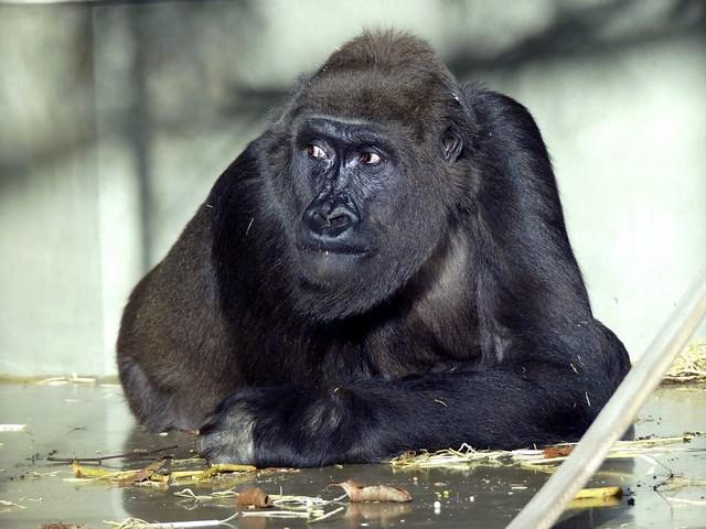 Gorilla Tuana, Wilhelma