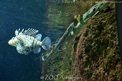 Indische Koraalduivel - Pterois miles - Common Lionfish + koraalkathaai - Atelomycterus marmoratus - coral catshark + epaulettehaai - Hemiscyllium ocellatum -epaulette shark