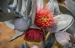 Eucalyptus macrocarpa.