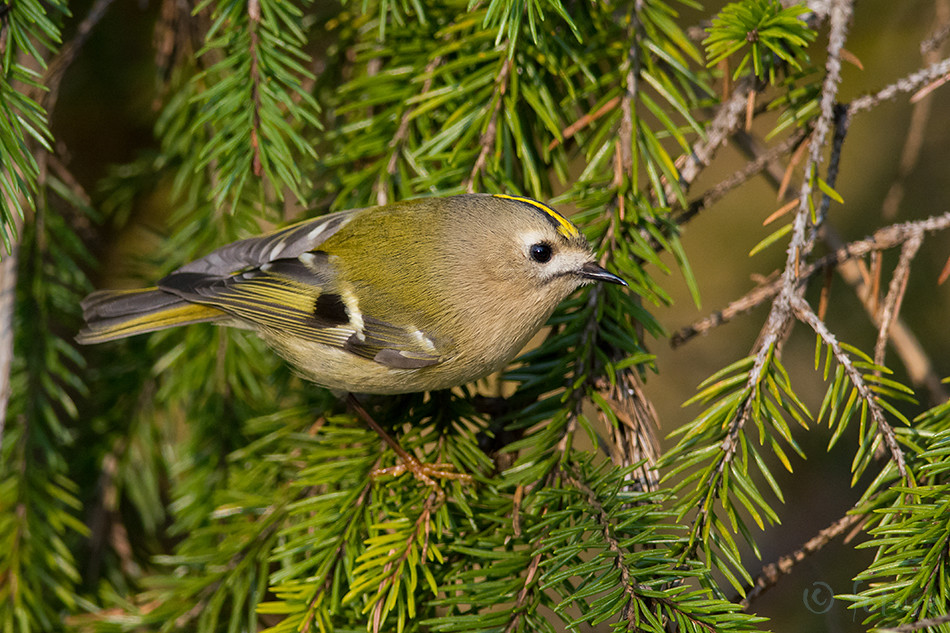 Pöialpoiss, Regulus, Goldcrest, European, Common, Estonia, Kaido Rummel