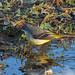 Grey Wagtail, Rickerby Park, 11 December 17 (2 of 2)