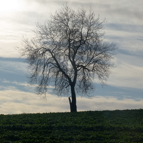 Tree with character, Berkswell