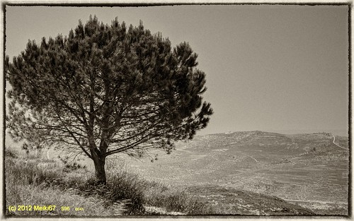lonely tree yizhar bw shomron s95 samaria nik silver efex