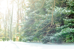 218 Pine Trees