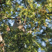 Hawfinch, The Lodge RSPB, 15th December 2017 by Steve Blain