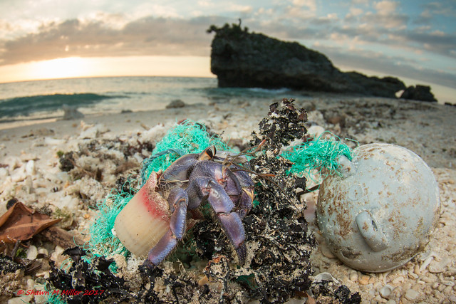 Hermit crabs using plastic caps -by Shawn Miller