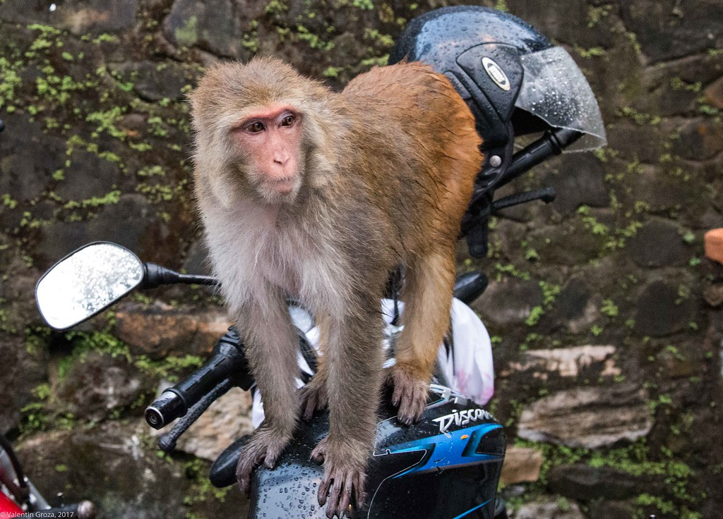 in Kathmandu_19 maimuta pe motocicleta