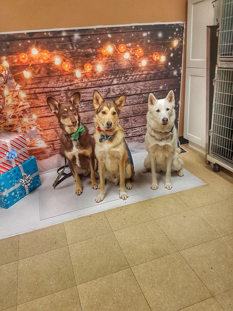 Husky Santa Paws serious