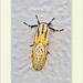 Diphthera festiva - Hieroglyfic Moth por J. Amorin