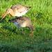 Limosa limosa Black-tailed Godwit