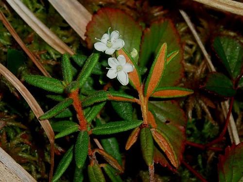 Ledum groenlandicum