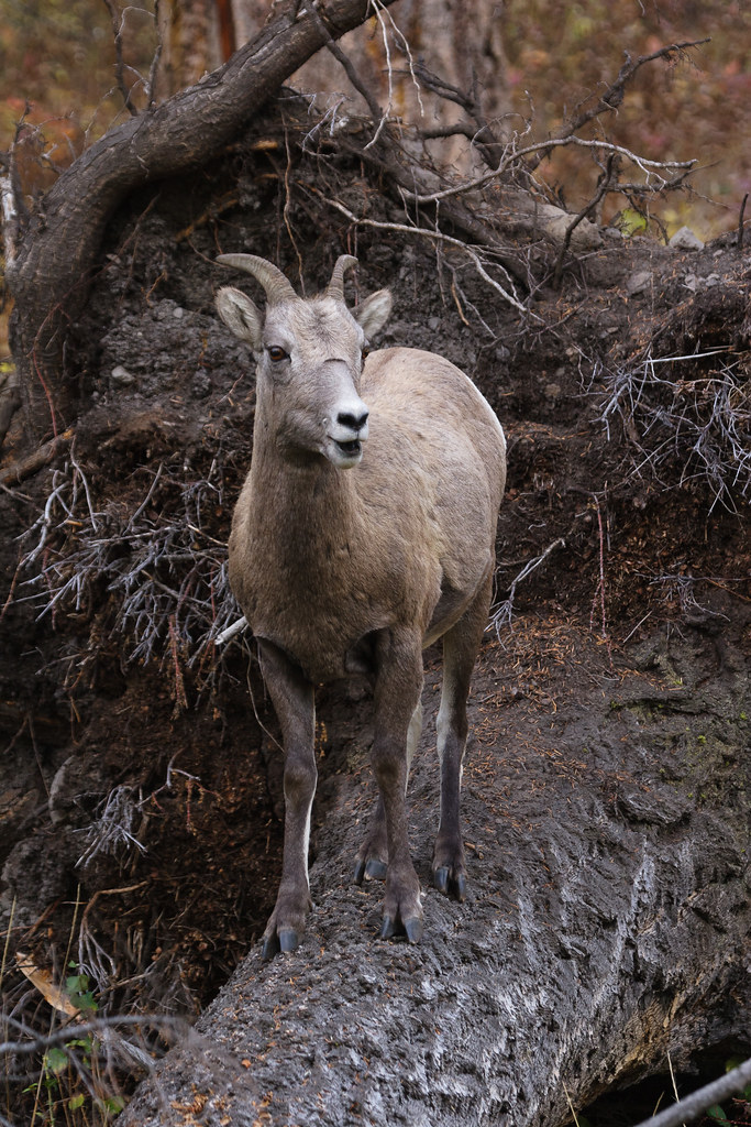 A bighorn sheep ewe stands on a fallen tree in Yellowstone National Park
