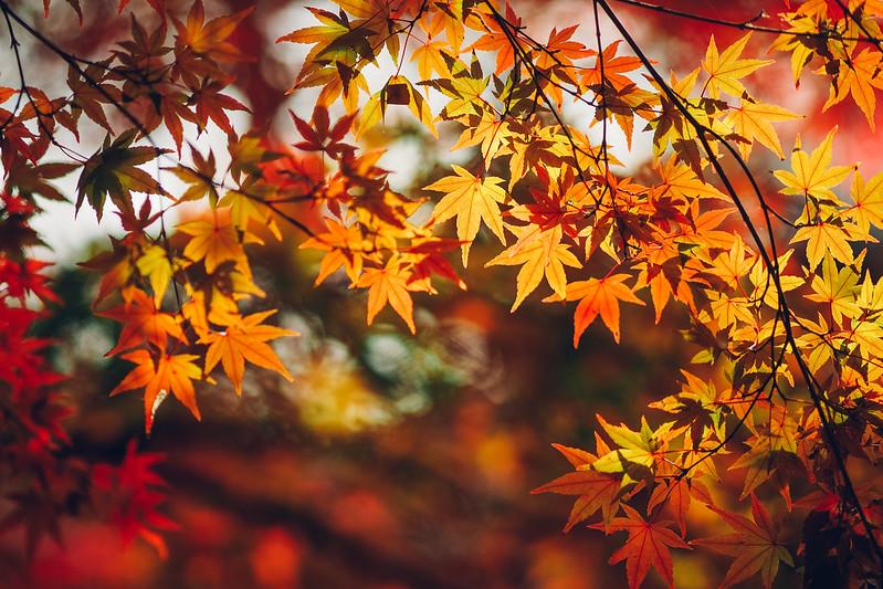 紅葉|昭和紀念公園