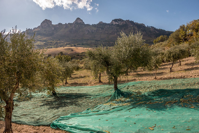 Olive trees ready to be harvested.