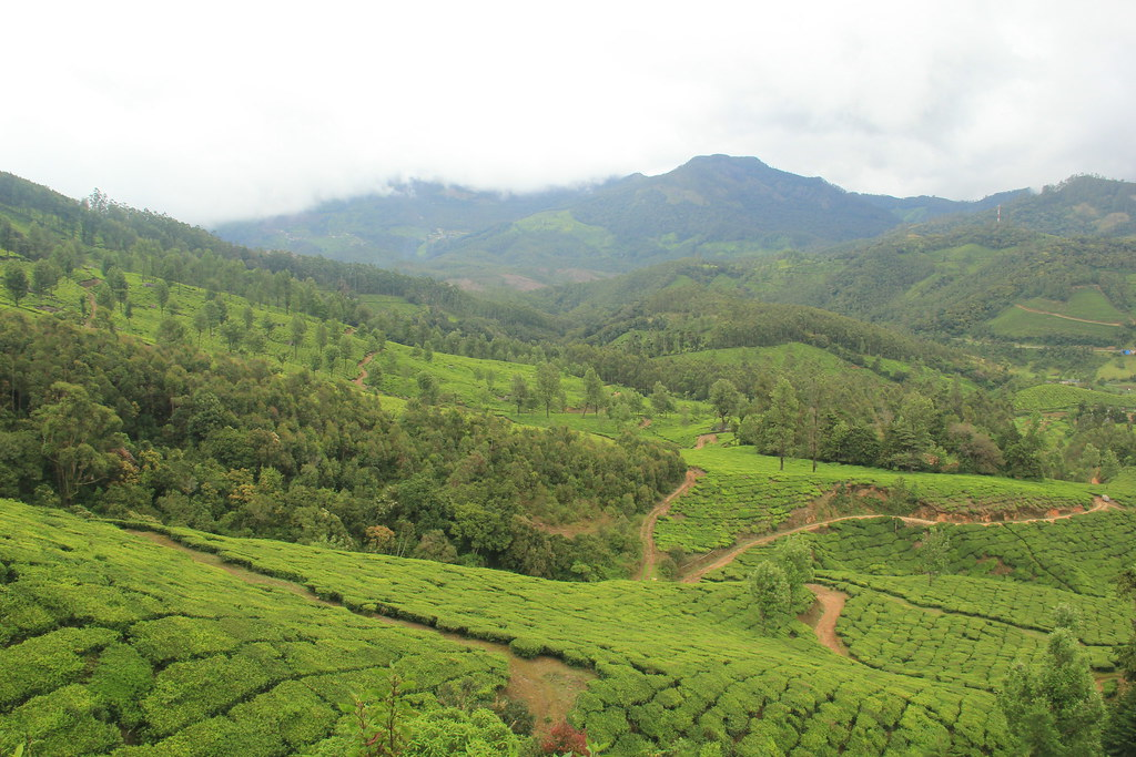 Trails weaving their way through the tea plantations