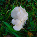 White: snowy waxcap in short grass