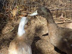 Duck Pair.