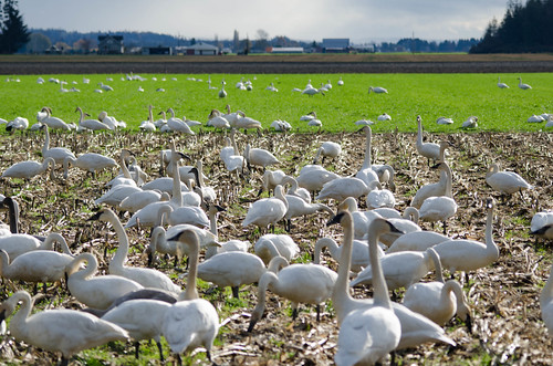 Skagit Valley Birds-34