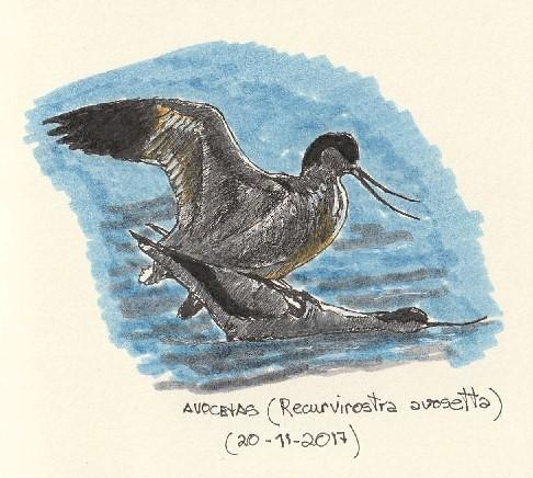 Avocetas comunes (Recurvirostra avosetta)
