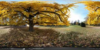 Formigine, Villa Gandini, Ginko biloba, autunno, 360