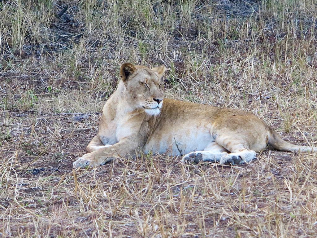 León en Phinda Game Reserve