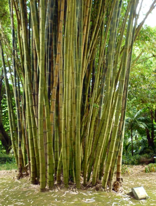 Bambusa vulgaris 38574358066_b1a26dcfb2_o