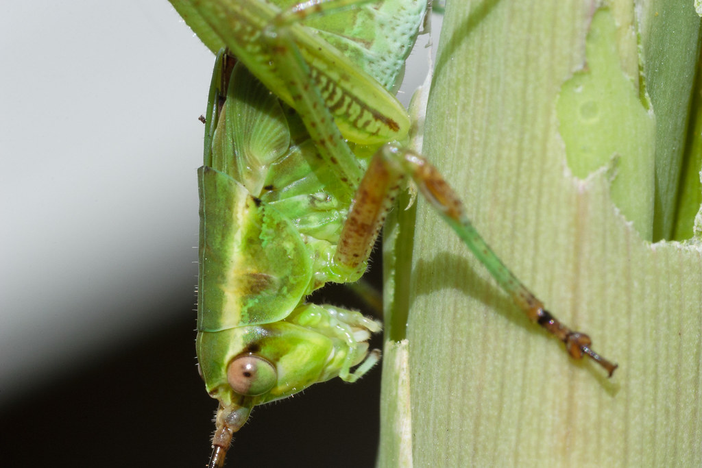 A fork-tailed bush katydid eats the stem of a gladiolus