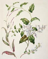 Antique plant Polygonum Minus - Muhlenbehia adpressa - Muhlenbehia compressa drawn by Sarah Featon(1848 - 1927)