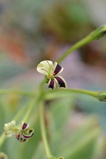 DSC_6233 Pelargonium pulverulentum ペラルゴニウム プルベルレンタム