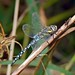 Migrant Hawker Dragonfly-6