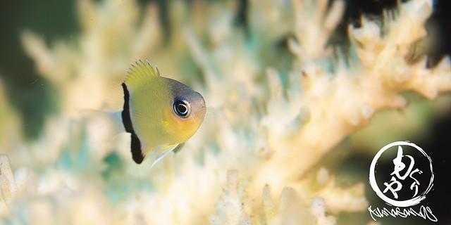 PNGでは沢山いたクロオビスズメダイ幼魚♪