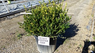 Buxus Winter Gem 15 gal 30-36 | by Johnson Farms