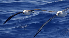 Black-browed Albatross and Shy Albatross