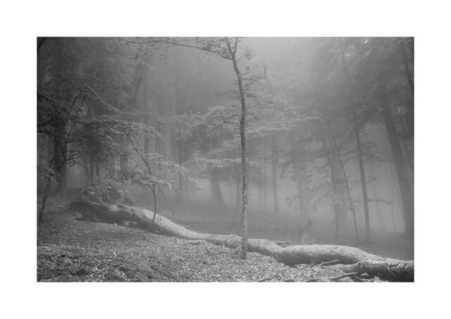 Foggy beech forest at Saja-Besaya natural park (Cantabria, Spain)