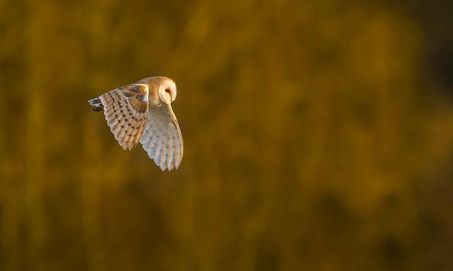 Last light of the day...Barn Owl.