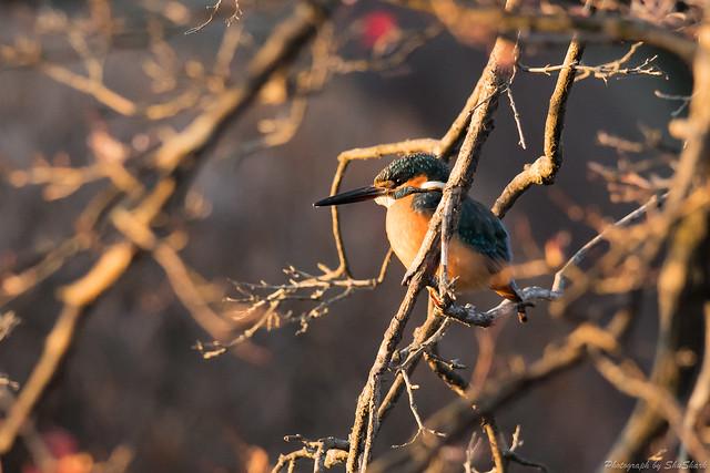 20171223-kingfisher-DSC_1138