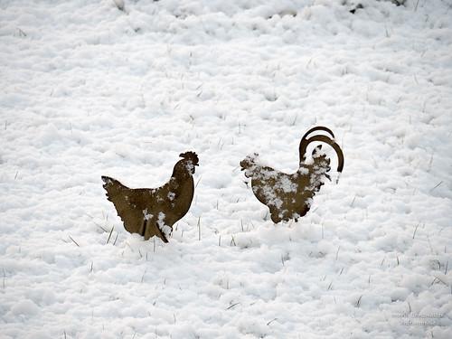 Hühnervolk im Schnee